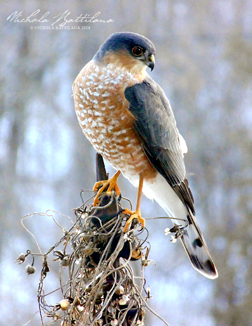 Sharp Shinned Hawk - Nichola Battilana