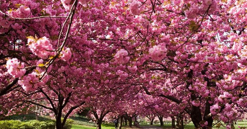 Arte y jardiner a dise o de jardines cerezo ornamental for Diseno de jardines 3d 7 0 keygen