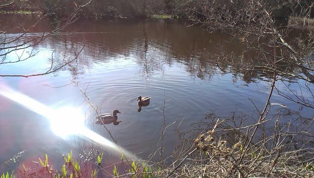Ducks at Penrhos Coastal Park, Anglesey