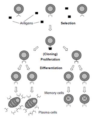 Gambar 4.1 Ilustrasi proses antibodi mengikat antigen