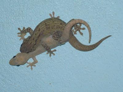 Asian House Gecko Nicaragua