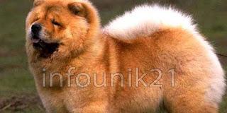 Harga Anjing Termahal Di Dunia
