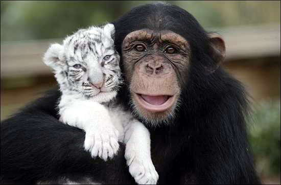 Anjana si Simpanse