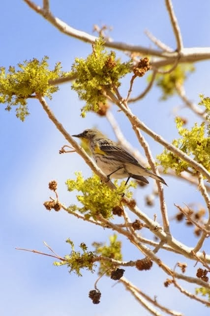 Yellow-rumped Warbler, Setophaga coronata 832