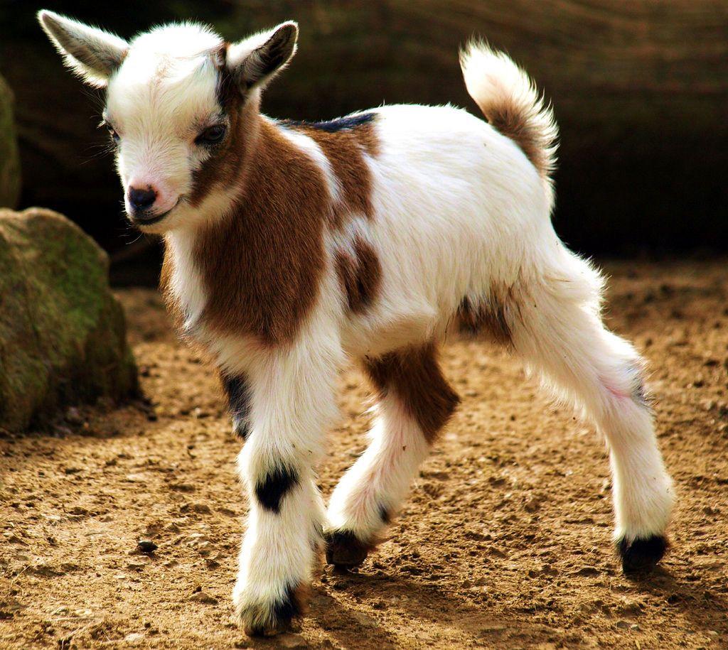 29. Baby-Goat im Jülicher Brückenkopfpark
