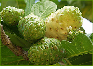 Noni fruit can stimulates the white blood cells
