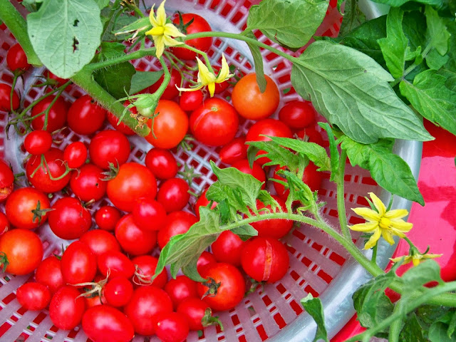 island fruit are tomatoes a fruit or vegetable