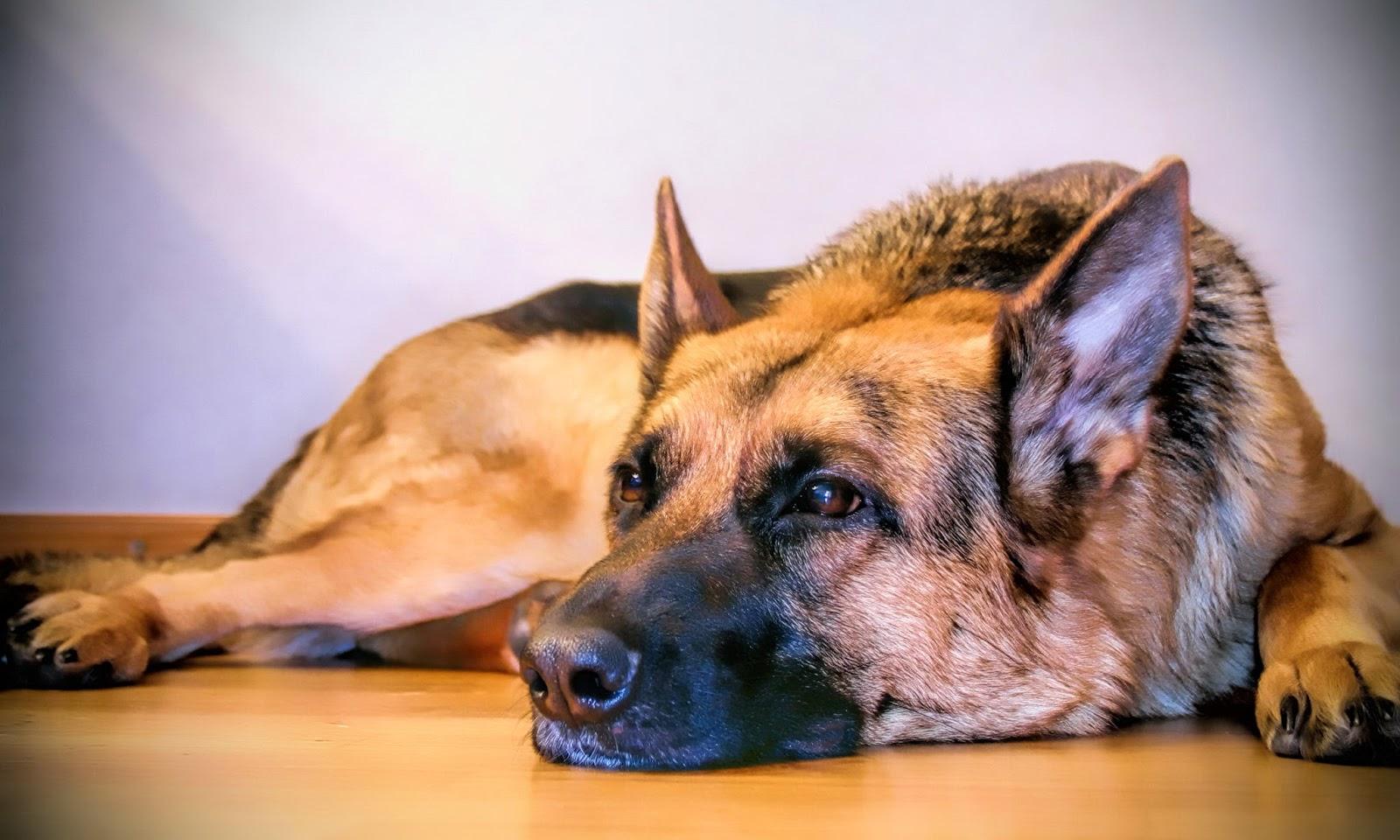 German Shepherd HD Wallpapers | HD Wallpapers (High ...