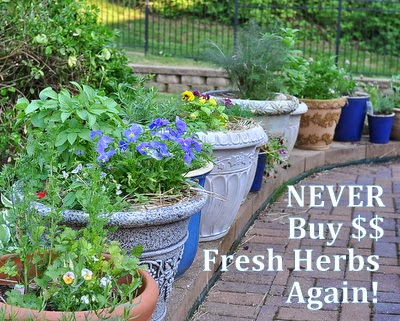 Never Buy Fresh Herbs Again, how to grow fresh herbs in pots to save money and inspire summer meals @ AVeggieVenture.com