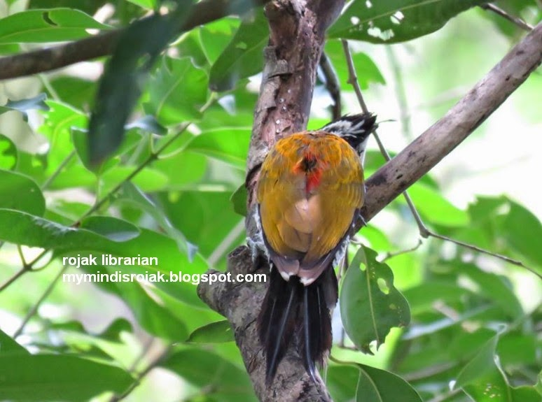Lesser Flameback Woodpecker (Female) in Bidadari
