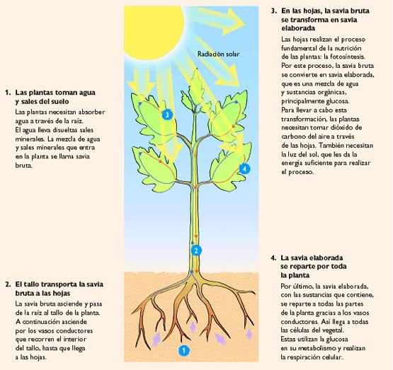 El mundo de las plantas nutricion en las plantas - Como sacar la humedad de la pared ...