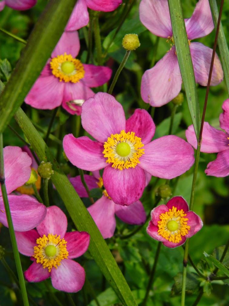 'Pretty Lady Susan' Japanese anemone Anemone hupehensis  Toronto Botanical Garden by garden muses-not another Toronto gardening blog