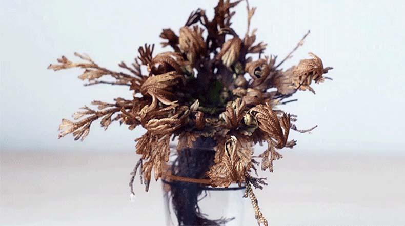 Timelapse de la planta durmiente 'Rosa de Jericó' estalla de vida después de la exposición al agua