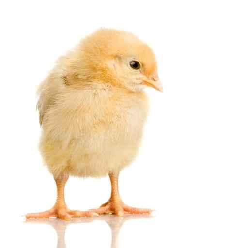 Zibaloo poule coq poussin - Poule et ses poussins ...