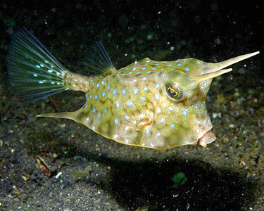 Life of Longhorn Cowfish Life of Sea