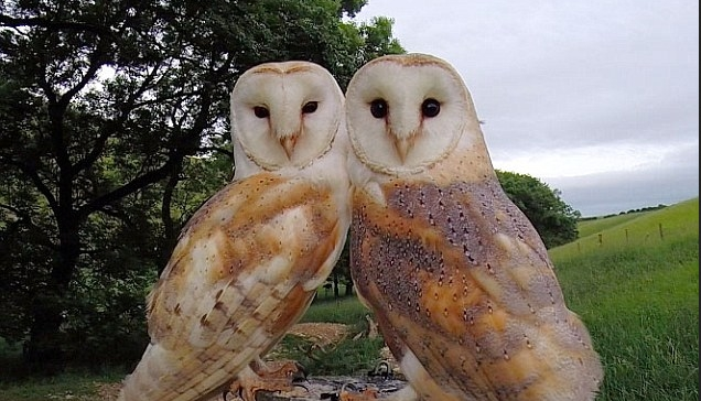 Pair of nesting barn owls pose up together for wildlife photographer (VIDEO)