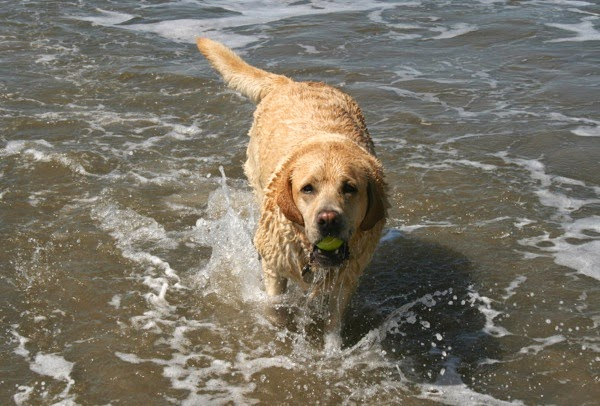 Labrador Cooper splashes along shore