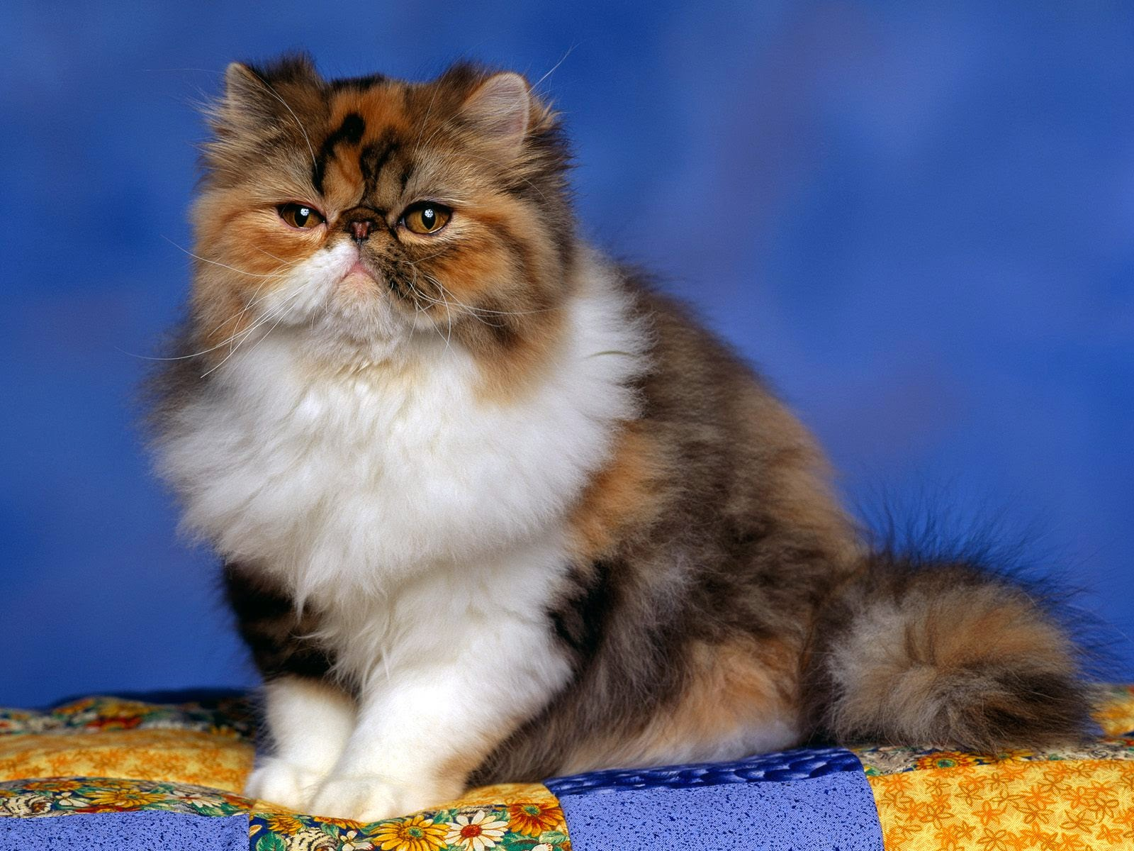 persian calico kitten wallpapers - Cute Persian Calico Kitten Wallpapers HD Wallpapers