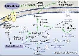 rutas anabolicas y catabolicas ejemplos