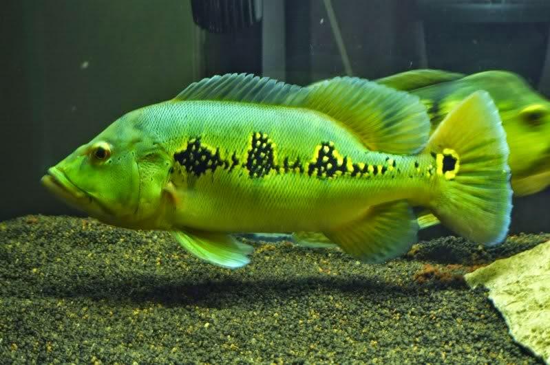 skema setrum ikan terbaru