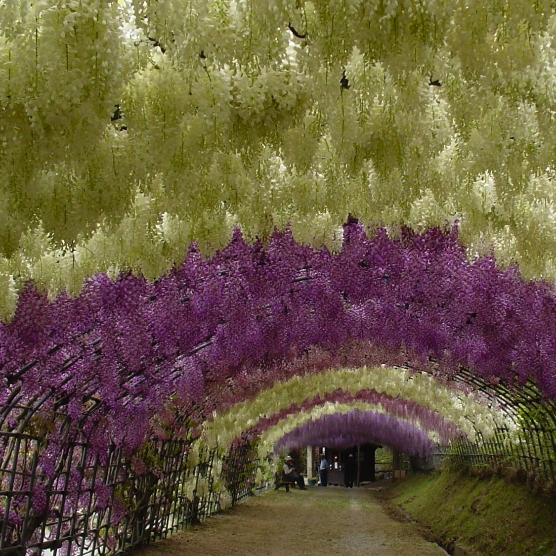 7 viva w Wisteria flower tunnel path in japan