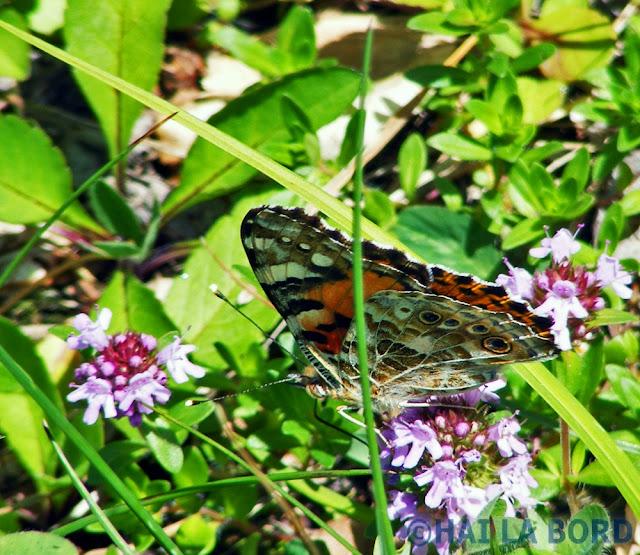 fluture postavaru
