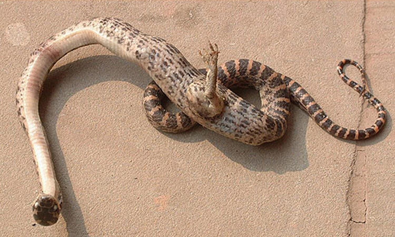 http://3.bp.blogspot.com/-YPau95P6Nis/U0ysHJo2WBI/AAAAAAAAJFs/j8qPRf58IbY/s1600/footed_snake.jpg