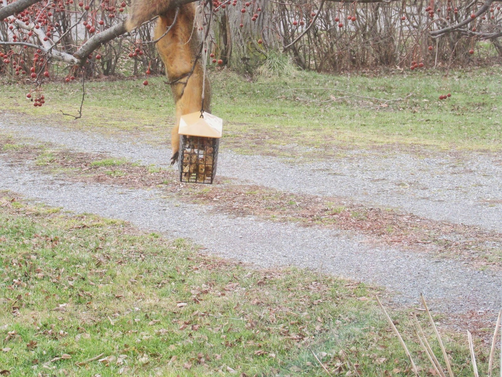 Squirrel eating all the bird suet