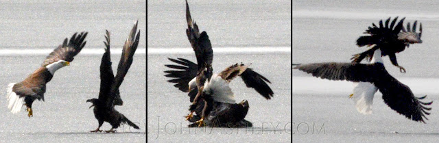 Battling Bald Eagles (c) John Ashley
