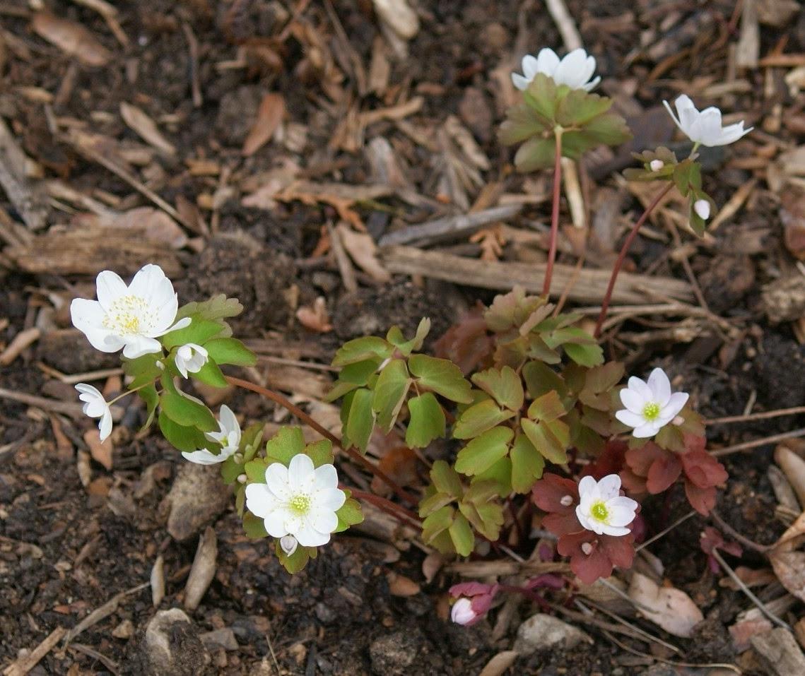 Анемонелла цветок
