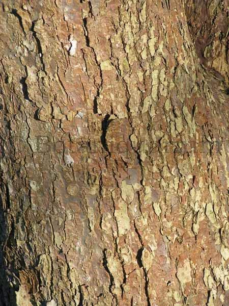 Botaniquarium - Davidia involucrata bark