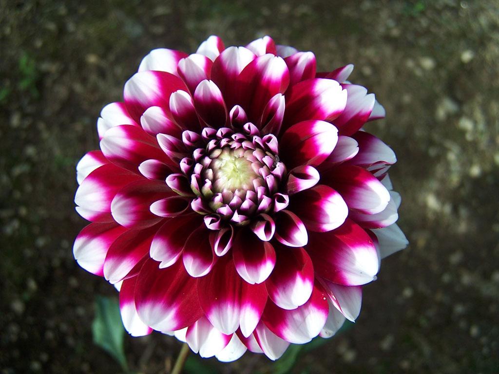 Im genes de flores y plantas dalia for Arboles plantas y flores