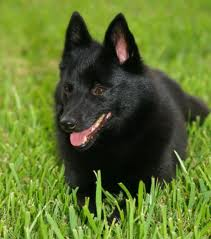 Schipperke Top Dog Breeds