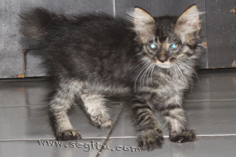 Harga Kucing Persia Medium Segitu Petshop