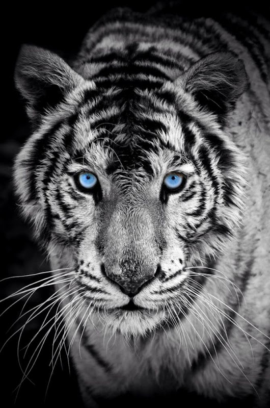 View Original Size IPhone 6 Tiger Wallpapers HD