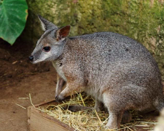 Wallaby en el Mariposario de Benalmádena