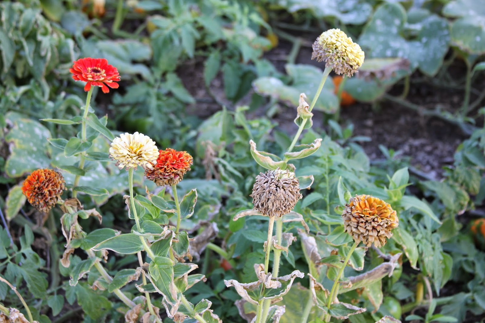 how to clean zinnia seeds