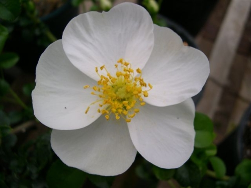 Cherokee spirit history of the cherokee indians the for Cherokee rose