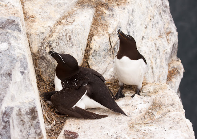 Razorbills - Farne Islands, Northumberland