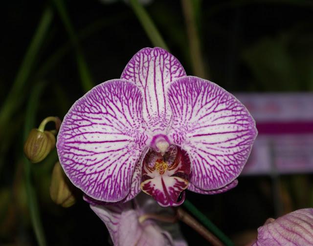 EXPOR ORQUIDEASCOM Orquídeas que florescem o ano todo!!!