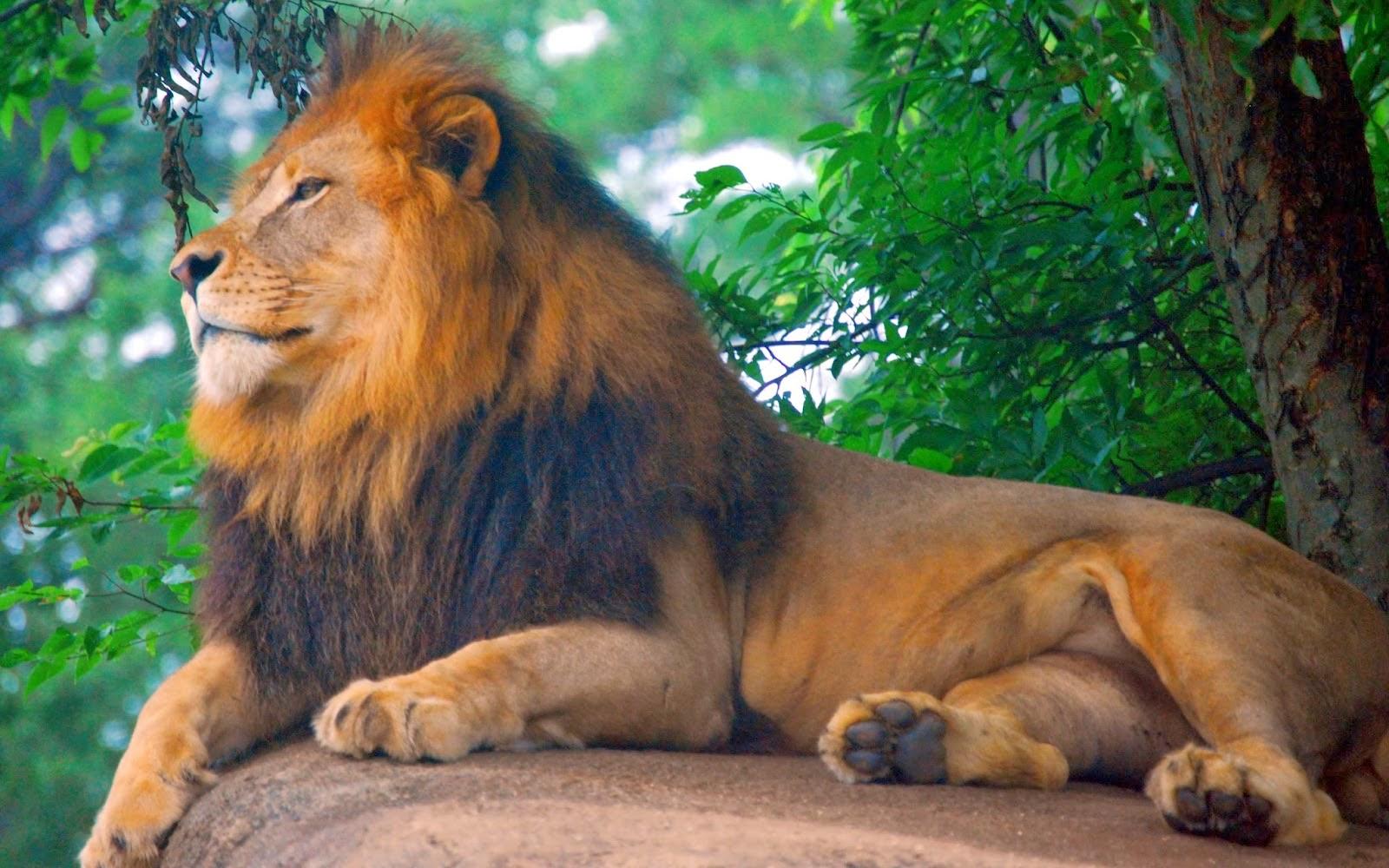 pin lion hd 3 - photo #19
