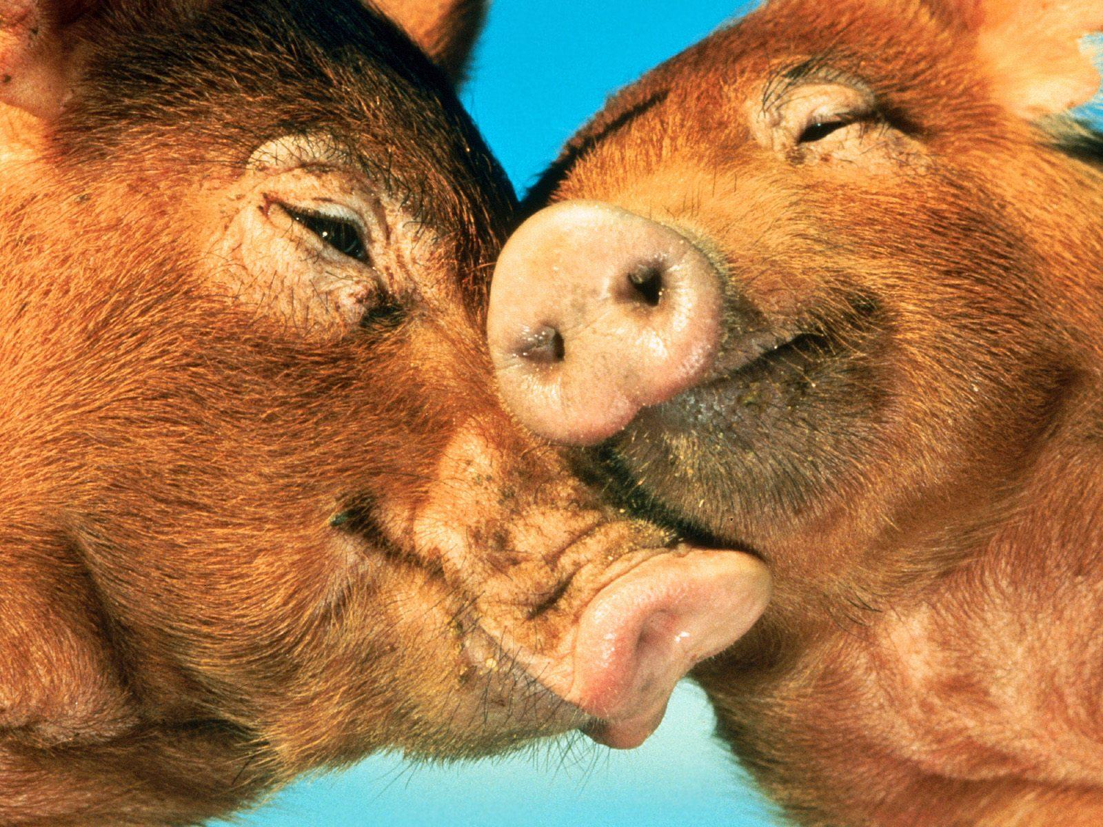 pig wallpapers fun animals wiki videos pictures stories