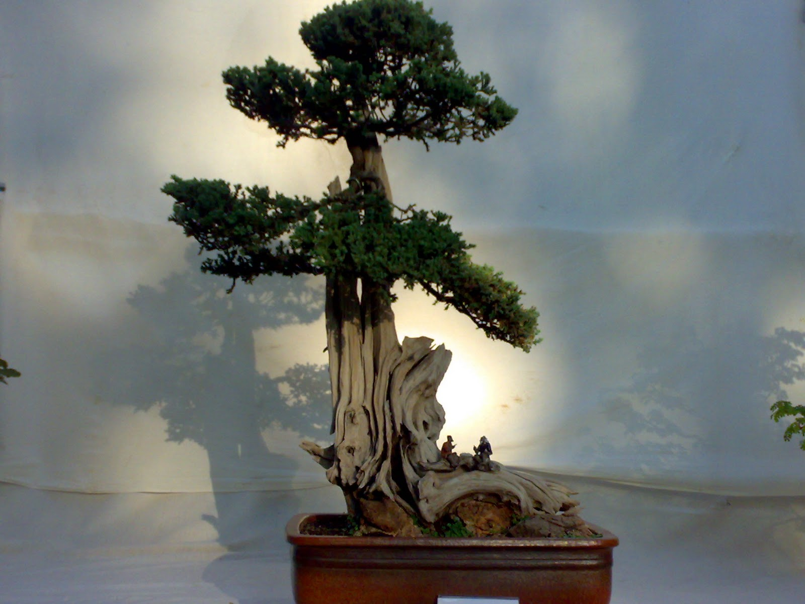 image impression amazing bonsai trees