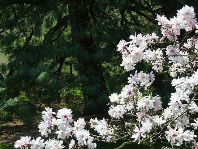 Morris arboretum 3 shade trees for small spaces for Slender trees for small spaces