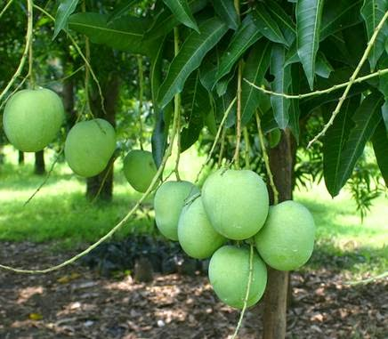 mango southeast asia and india Mango showers, or 'mango rains', is a colloquial term to describe the occurrence of pre-monsoon rainfall sometimes these rains are referred to generically as 'april rains' or 'summer showers.
