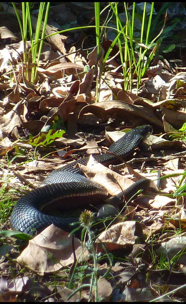 black snake sunbathing