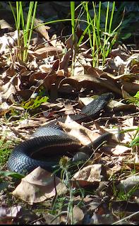 black snake Australia