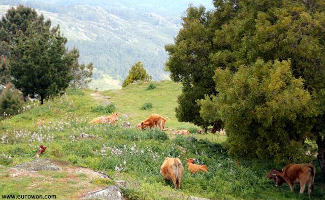 Vacas pastando en un monte de Vigo