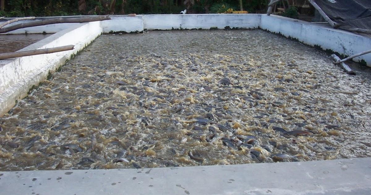 Cara Budidaya Ikan Lele di Kolam Terpal Yang Baik ~ My ...
