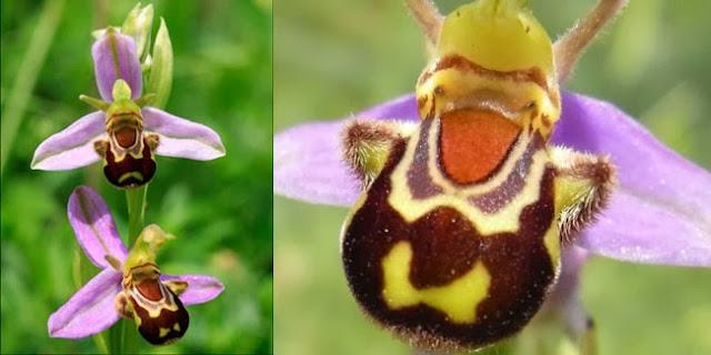 Anggrek Lebah